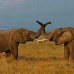 Az elefántok kommunikációja