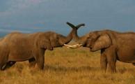 Az elefántok baráti üdvözlése