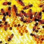 A háziméh vacsoratánca